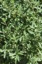 Black sage bush Royalty Free Stock Photo