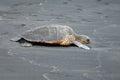 Black Sand Beach Turtle Royalty Free Stock Photo