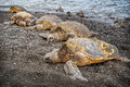 Black sand breather hawaiian green sea turtles relax on the beach on big island hawaii Stock Photography