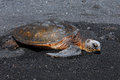 Black Sand and Green Sea Turtle Royalty Free Stock Image