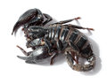 Black scorpion on white background Stock Photo