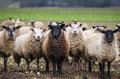 Black sheep Royalty Free Stock Photo