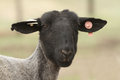 Black sheep face with tags in ear Royalty Free Stock Photo