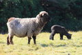 Black Sheep and Lamb Royalty Free Stock Photo