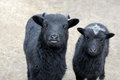 Black sheeps two in the nature Stock Image