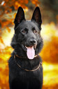 Black shepherd dog on the background of autumn Stock Images
