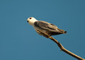 Black-shouldered Kite on branch Stock Image