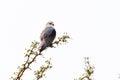 Black Shouldered Kite Royalty Free Stock Photo