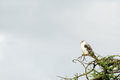 Black shouldered kite top tree against grey sky lots empty space shot serengeti tanzania Stock Photography