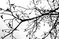 Black silhouette of leafless linden tree branches