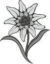 Black silhouette outline edelweiss leontopodium flower the symbol of alpinism vector tattoo illustration logo Royalty Free Stock Images