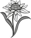 Black silhouette outline edelweiss leontopodium flower the symbol of alpinism vector tattoo illustration logo Stock Photo