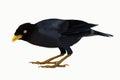 Black Singing Minah Bird