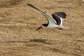 Black skimmer adult in flight with small fish in its beak Stock Images