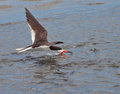Black skimmer rynchops niger skimming water surface Stock Photos