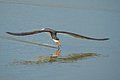 Black skimmer skimming with wings spread wide Royalty Free Stock Photo