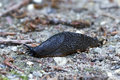 Black slug (arion ater) Royalty Free Stock Photo