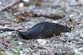 Black slug (arion ater) Royalty Free Stock Photo