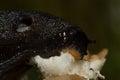 Black slug eating Royalty Free Stock Photo