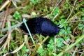 Black slug Royalty Free Stock Photo