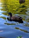 black duck on lake