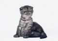 Black smoke scottish fold kitten Royalty Free Stock Photography