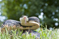 Black Snake Royalty Free Stock Photo