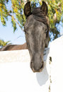 Black spanish horse a beautiful andalucian looking over a wall at the camera in analucia spain Stock Images
