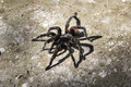 Black spider on the ground in jungle Royalty Free Stock Photography