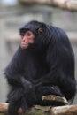 Black spider monkey Royalty Free Stock Photo