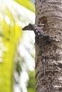 Black Spiny-Tailed Iguana On P...