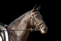 Black sport horse portrait with bridle isolated on black background Royalty Free Stock Images