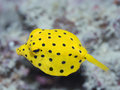 Black-spotted boxfish Royalty Free Stock Image
