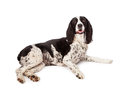Black springer spaniel dog laying over white pretty and color english on a studio background Royalty Free Stock Image
