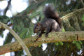 Black squirrel Royalty Free Stock Photo