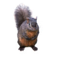 Black squirrel pretty isolated on white background Royalty Free Stock Image