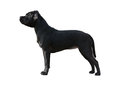 Black Staffordshire Bull Terrier stand isolated Royalty Free Stock Photo
