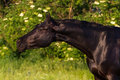 Black stallion Royalty Free Stock Photo