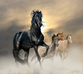 Black stallion and herd in sunset Royalty Free Stock Photos