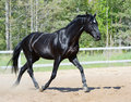 Black stallion in motion Stock Images