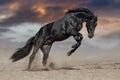 Black stallion run Royalty Free Stock Photo