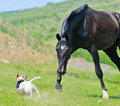 Black stallion running after jack russel terrier Stock Images