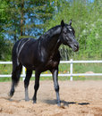 Black stallion of Russian riding breed Royalty Free Stock Photo