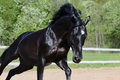 Black stallion of Russian riding breed  in motion Stock Photo
