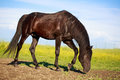 Black stallion trakehner in field Stock Photography