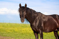 Black stallion trakehner in field Royalty Free Stock Photos