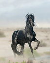 Black stallion wild in prairies Royalty Free Stock Images