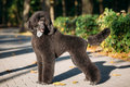 Black standard poodle dog outdoor beautiful young Royalty Free Stock Images