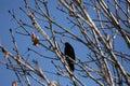 Black starling bird. Royalty Free Stock Photo