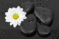 Black stones and white flower with water drops see my other works in portfolio Royalty Free Stock Images